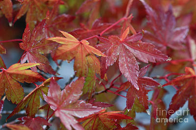 Japanese Maples Poster by Tracy Hall