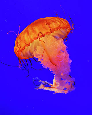 Jelly Fish Poster by Davidhuiphoto