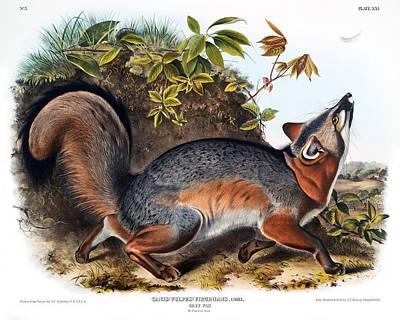 Grey Fox Antique Print John Audubon Quadrupeds Of North America Poster by John Audubon