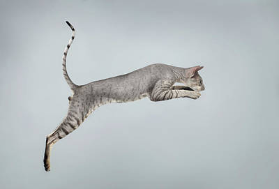 Jumping Peterbald Sphynx Cat On White Poster by Sergey Taran