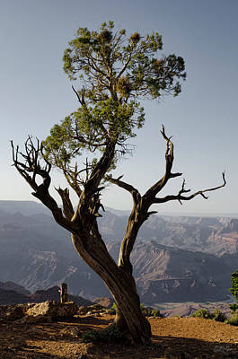 Juniper Tree At Grand Canyon II Poster by David Gordon