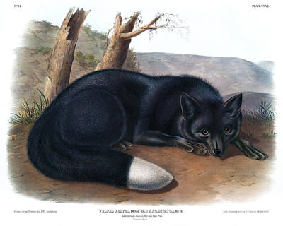 American Black Fox Antique Print Audubon Quadrupeds Of  North America  Poster by John Audubon