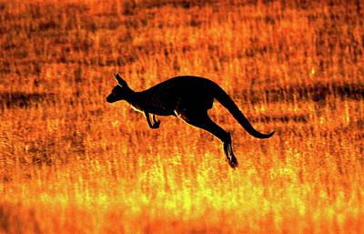 Kangaroo Sunset Poster by Bruce J Robinson