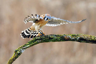 Kestrel Falcon Hunting On The Wing Poster by Scott  Linstead