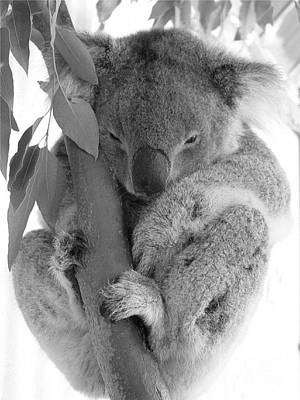 Koala Bear Poster by Terry Burgess