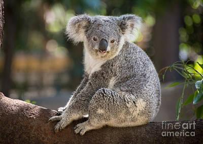 Koala In Tree Poster by Jamie Pham