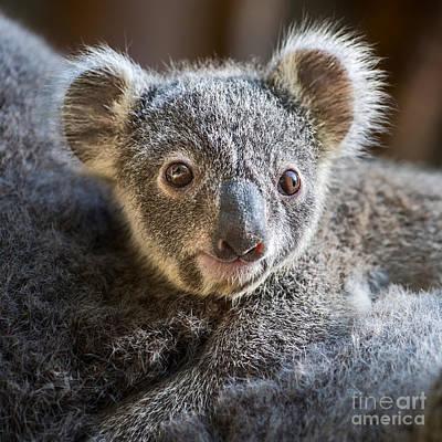 Koala Joey Close Poster by Jamie Pham