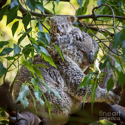 Koala Joey Poster by Jamie Pham
