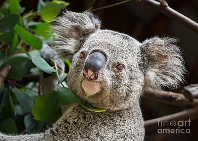 Koala Male Portrait Poster by Jamie Pham