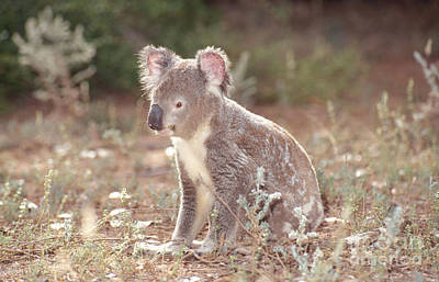 Koala On The Ground Poster by B. G. Thomson