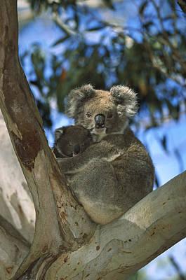 Koala Phascolarctos Cinereus Mother Poster by Konrad Wothe
