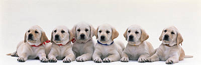 Labrador Puppies Poster by Panoramic Images