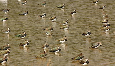 Lapwings Poster by Jeff Townsend