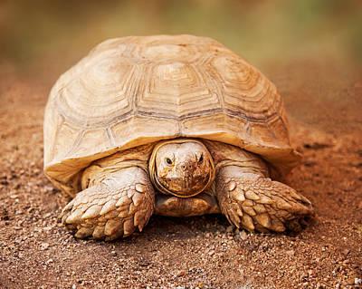 Large Galapagos Tortoise Looking Forward Poster by Susan  Schmitz