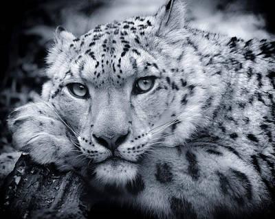 Large Snow Leopard Portrait Poster by Chris Boulton