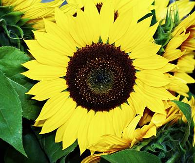 Last Of The Sunflowers Poster by Cathie Tyler