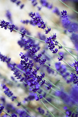 Lavender Blue Poster by Frank Tschakert