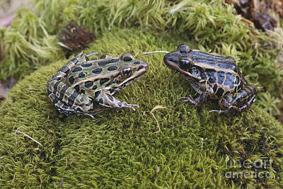 Leopard And Pickerel Frogs Poster by John Serrao