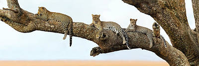 Leopard Panthera Pardus Family Sitting Poster by Panoramic Images