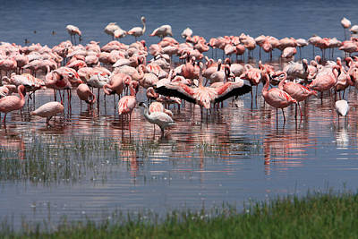 Lesser Flamingo, Lake Nakuru, Kenya Poster by Aidan Moran