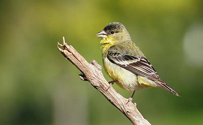 Lesser Goldfinch Poster by Andrew Johnson
