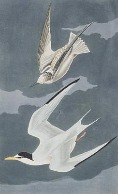 Lesser Tern Poster by John James Audubon