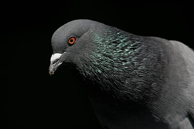 Light Rail Pigeon  Poster by Andrew Johnson