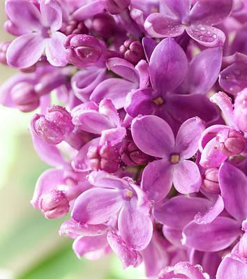 Lilac Poster by Mariola Szeliga