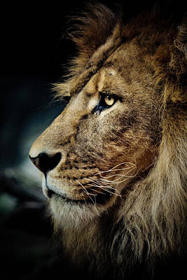 Lion Poster by Animus Photography