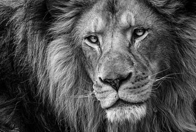 Lion Portrait Poster by Levana Sietses
