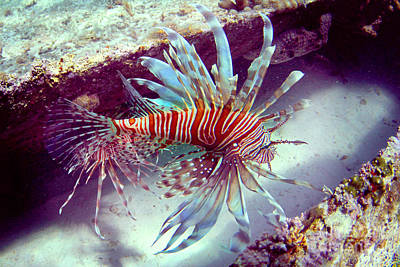 Lionfish Poster by Adrian E Gray