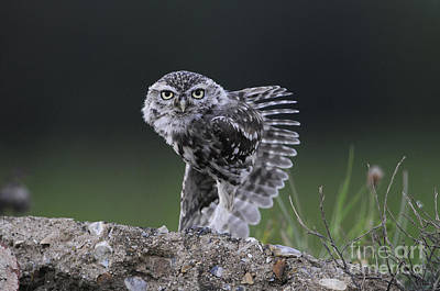 Little Owl Stretching Poster by Richard Brooks/FLPA