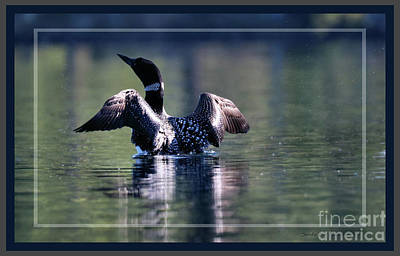 Loon With Open Wings Poster by Sandra Huston