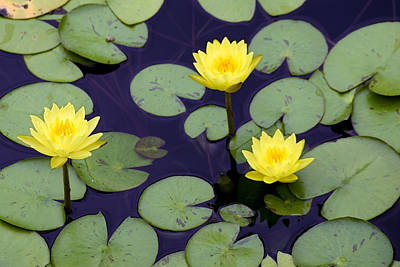 Loti In Lilly Pads Poster by Kristin Smith