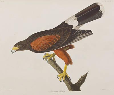 Louisiana Hawk Poster by John James Audubon