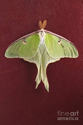 Luna Moth Over Red Leather Poster by Edward Fielding