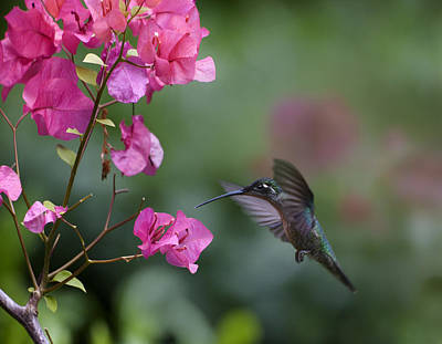 Magnificent Hummingbird Female Feeding Poster by Tim Fitzharris