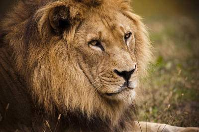 Magnificent Male Lion Poster by Chad Davis