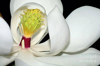 Magnolia Little Gem By Kaye Menner Poster by Kaye Menner