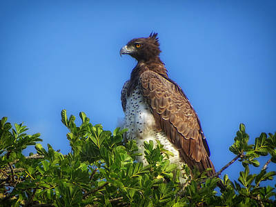 Majestic Martial Eagle Poster by Mountain Dreams
