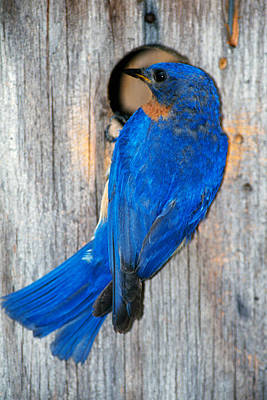 Male Eastern Bluebird Sialia Sialis On Poster by Panoramic Images