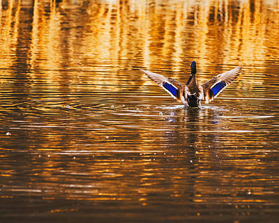 Male Mallard Duck Stretching Its Wing Poster by Vishwanath Bhat