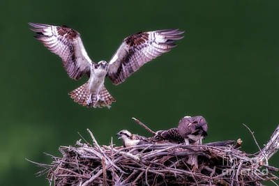Male Osprey Returning To Nest With Fish For Young Osprey Poster by Dan Friend