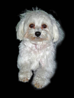 Maltese Terrier Puppy Poster by Kenneth William Caleno