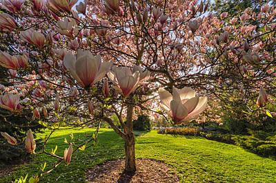 Manito Magnolia In Bloom Poster by Mark Kiver