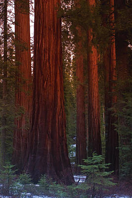 Mariposa Grove Before Sunset Poster by Jim Dohms