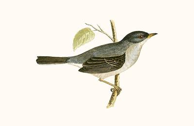 Marmora's Warbler Poster by English School