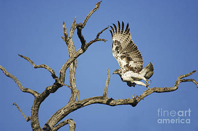 Martial Eagle In South Africa Poster by Pierric Descamps