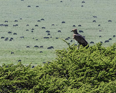 Martial Eagle Overlooking Wildebeest Grazing On The Grasslands Poster by Morris Finkelstein