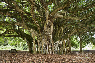 Mature Banyan Tree Poster by Inga Spence